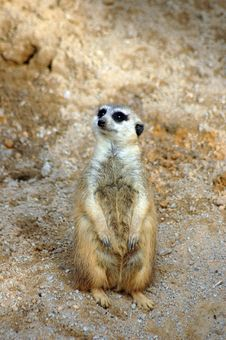 Free Meerkat In Habitat Royalty Free Stock Photo - 1493095