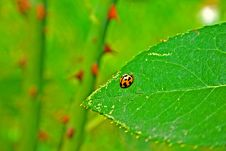 Free Orange Ladybug On Leaf Stock Image - 1495051