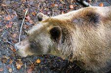 Free Bears 2 Stock Photo - 1496920