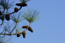 Free Branch Of Pine Tree Stock Photo - 1497720