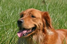 Free Golden Retriever Stock Photos - 1498113