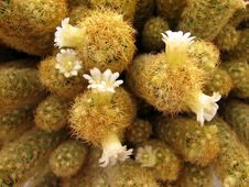 Free White Cactus Flowers Stock Images - 1498284