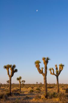 Free Moon Over Joshua Trees Royalty Free Stock Photography - 1498587
