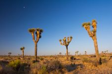 Free Moon Over Joshua Trees Stock Photos - 1498723