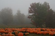 Free Misty Pumpkins Royalty Free Stock Images - 1499119