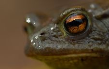 Toad (Bufo Bufo) Stock Images