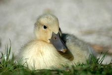 Free Duckling Royalty Free Stock Image - 1499526