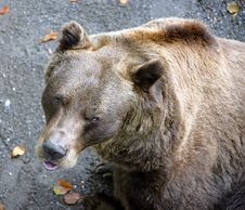 Free Bears 13 Royalty Free Stock Photography - 1499527