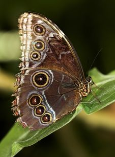 Free Common Blue Morpho Stock Photos - 1499563