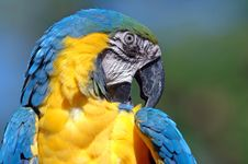 Free Macaw Royalty Free Stock Photos - 1499618