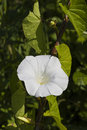 Free Bindweed  Flowers Royalty Free Stock Image - 14901926