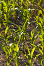 Free Detail Of Young Green Corn Leaves In The Field, Ag Stock Photography - 14907802