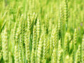 Free Ears Of Wheat Royalty Free Stock Image - 14909506