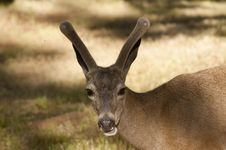 Californian Black-tailed Deer Royalty Free Stock Image