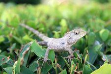Free Small Lizards Royalty Free Stock Photos - 14901018