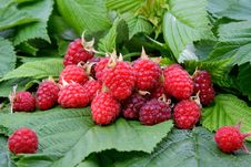 Free Appetizing Raspberry Royalty Free Stock Photography - 14901417