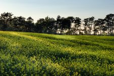 Canola Field At Sunset Royalty Free Stock Image