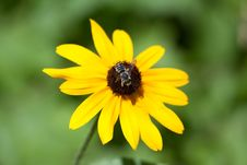 Free Black Eyed Susan With Bee Stock Photo - 14901700