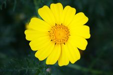 Free Yellow Daisy Royalty Free Stock Photos - 14901758