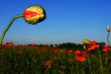 Free Poppy S Field, Blue Sky And Green Grass Stock Photo - 14901960