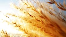 Free Illuminated Silver Grass Royalty Free Stock Photography - 14902057