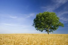 Free Tree Royalty Free Stock Image - 14902716