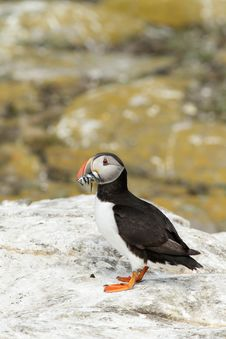 Puffin With Fish In Its Beak On A Rock Stock Photos