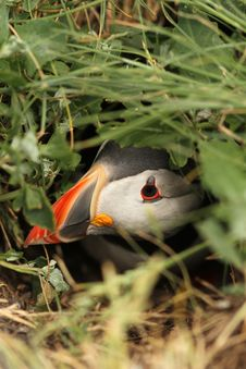 Free Puffin Hiding In Its Burrow Royalty Free Stock Photography - 14903357