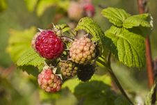 Ripe And Unripe Raspberries Royalty Free Stock Photography