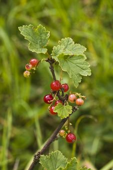 Free Ripe And Unripe Red Currants Royalty Free Stock Images - 14903419
