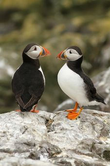 Free Puffins On A Rock Royalty Free Stock Photos - 14903558
