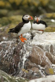 Free Puffins On A Rock Stock Image - 14903661