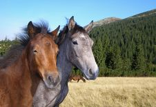 Free Two Young Stallions Stock Photo - 14903850