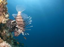 Free Lion Fish Swimming Upside Down Stock Image - 14904281