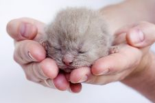 Free New-born Kitten Sleeping On Men S Hands Royalty Free Stock Photos - 14904518