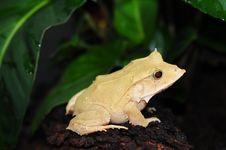 Free Solomon Leaf Frog Stock Photography - 14905222
