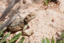 Free Yellow Lizard In The Street Royalty Free Stock Photos - 14906618