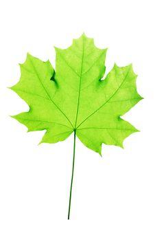 Leaves  Tree  Maple Stock Image