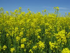 Free Yellow Rape Field Stock Image - 14907091