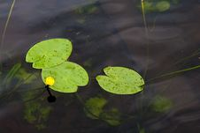 Free Water Lily. Royalty Free Stock Image - 14908126