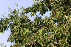 Free Bunch Of Red Cherries On A Branch With Green Leave Stock Photo - 14908140