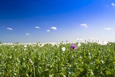 Free Opium Poppy Stock Photos - 14908193