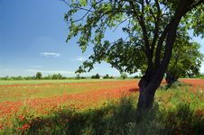 Free Landscape With Tree And Poppies Stock Image - 14908401