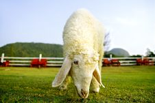 Free The Sheep Royalty Free Stock Photography - 14909047