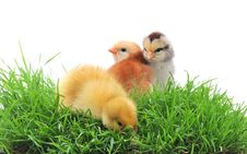 Duck And Chicks In Grass Stock Photos