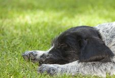 Puppy Dog German Shorthaired Pointer Sleeping Stock Image