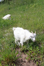 Free The Goat On A Green Meadow Royalty Free Stock Images - 14911149