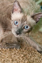 Free Siamese Kitty After A Bath Stock Images - 14911154