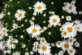 Free Blooming Daisy Royalty Free Stock Photography - 14914257