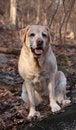 Free Yellow Labrador Retriever Sitting Royalty Free Stock Image - 14914276